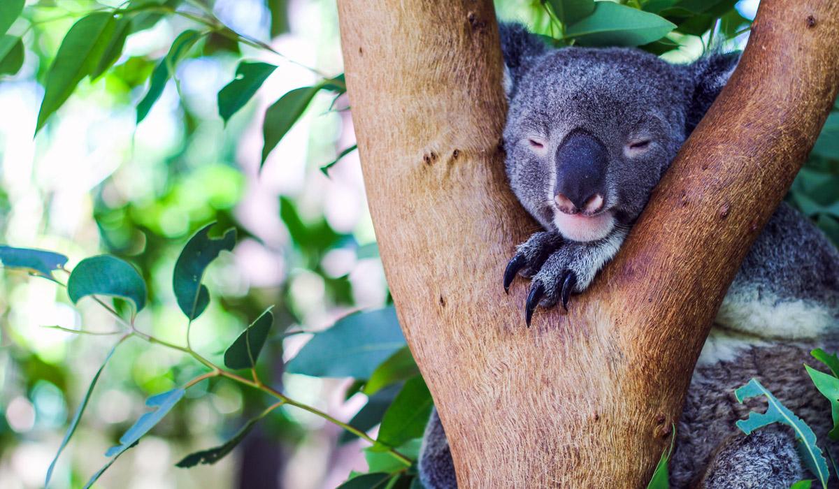 Magnetic-Island-Hostel-Koala-Park-011