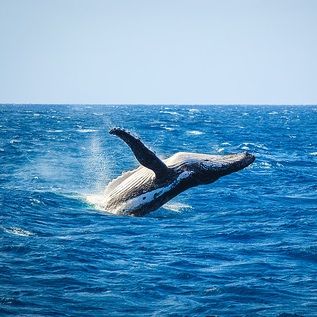 Whale-Watching-Magnetic-Island
