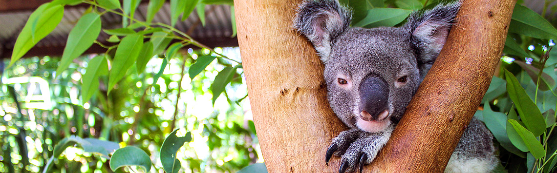 Magnetic-Island-Koala-Park-Wildlife-Tours